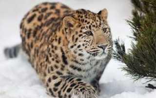 Фотоохота в национальном парке «Земля леопарда» станет доступней