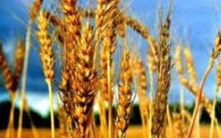 В области завершается жатва, самая высокая урожайность – возле Умани