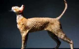 В России все большую популярность набирают кошки элитных пород