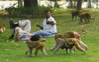 Обезьяны-хулиганы атаковали индийский город Шимла