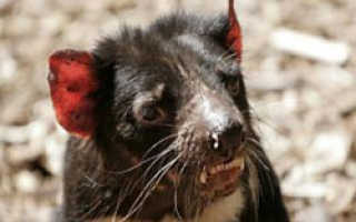 Cпасти тасманийского дьявола