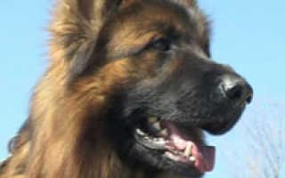 Внучка телесыщика Мухтара поучаствовала в костанайской выставке собак