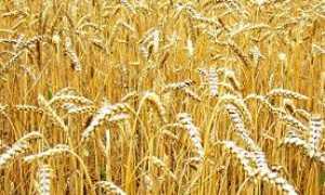Украина может ограничить экспорт пшеницы