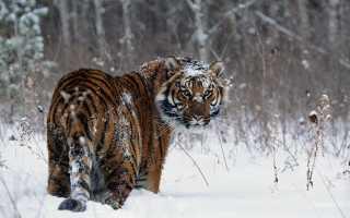 Злоумышленник сгубил восьмерых амурских тигров