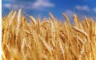 Прогноз повышения урожая зерна в Украине