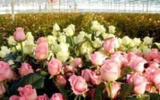 Власти Ставропольского края намерены построить в городе Лермонтов питомник по выращиванию роз