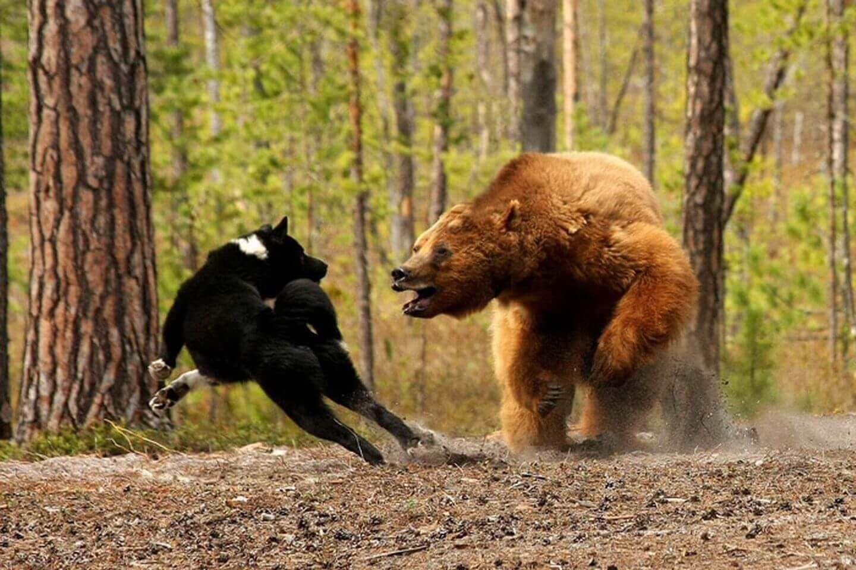 Медведь и собака