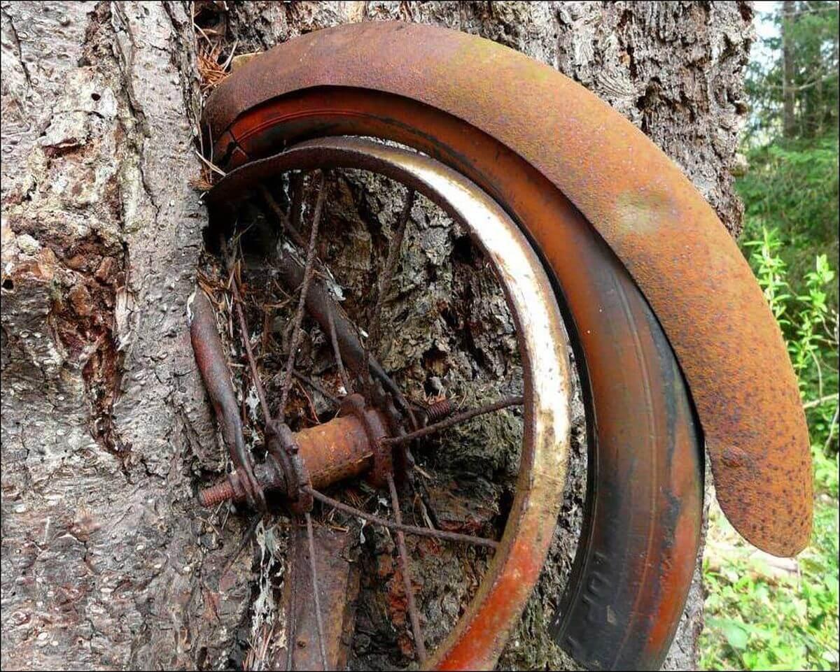 Велосипед вросший в дерево, колесо крупным планом
